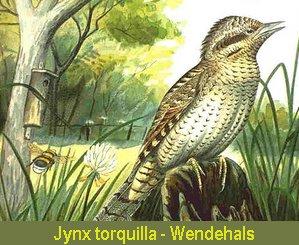 Wendehals